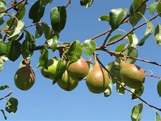 Albero di pere - Pear tree