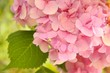 A pink garden Hydrangea flower
