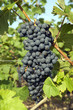 Red wine grapes in harvest season