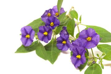 fiore viola su fondo bianco