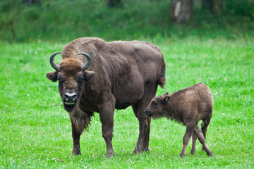 bison and offspring