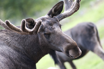 Closeup of moose head