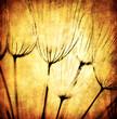 Grunge abstract dandelion flower background