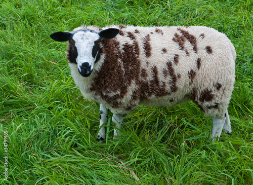 One spotted brown and white sheep in grassland