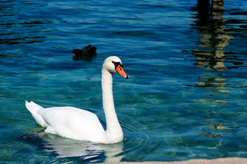 Beatiful white swan swimming on Annecy lake