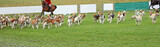A Display by a Pack of Beagle Hunting Hounds. poster