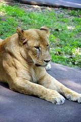 くつろぐライオン