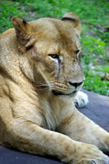 威厳のあるライオン