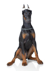 Puppy of doberman sitting with sticking plaster on ears