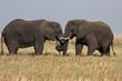 Dos elefantes cruzándose