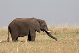 Elefante con la trompa extendida comiendo