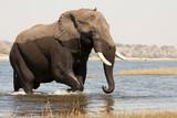 Elefante macho saliendo del río