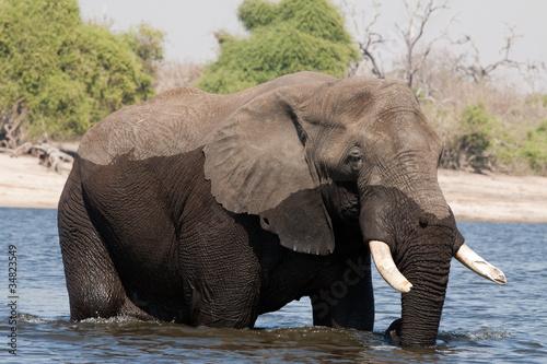 Elefante cruzando el Chobe