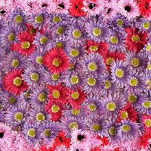rose et violet floral