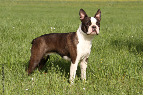 Boston-Terrier Hündin