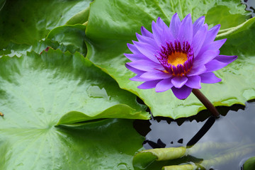 A lotus  or water lily  flower.