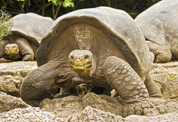 Group of Galapagos Tortoises