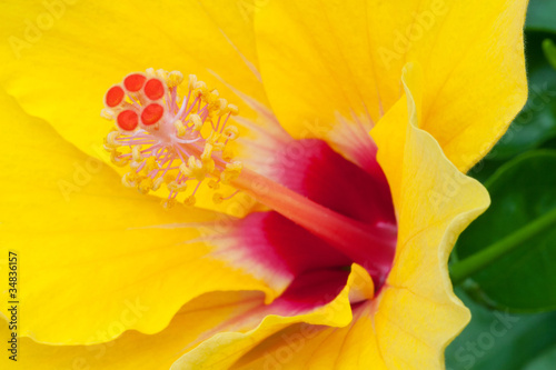 Closeup of Yellow Hibiscus
