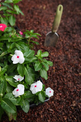 Market pack of Vinca waiting to be planted