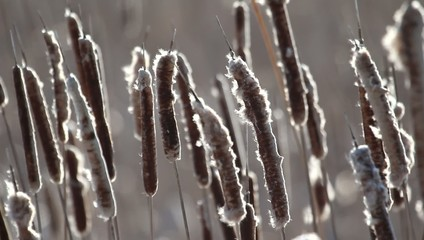 Closeup of some cattails swaying in the wind.