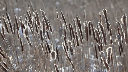 Some cattails are swaying in the wind.