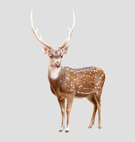 male axis deer poster