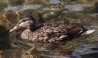 Mallard,  Anas platyrhynchos,  duck on lake