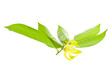 Ylang-Ylang flower on white