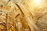 Golden sunset over wheat field