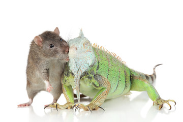 Iguana with rat together on a white background