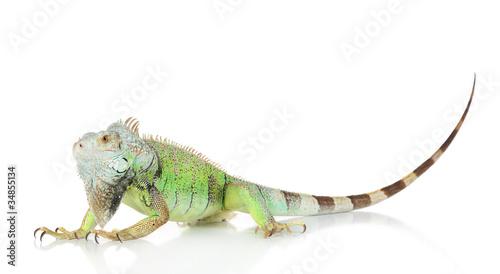 Foto op Plexiglas Kameleon Green Iguana portrait