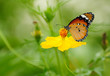 Butterfly on yellow Cosmos flower
