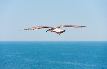 Flying seagull on sea background.
