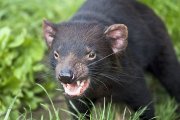 Snarling Tasmanian Devil