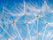 The Dandelion. Macro photo of light seeds over light blue