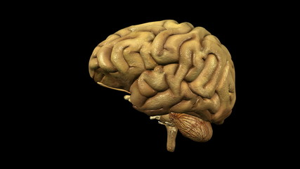 photo-realistic looping brain animation with alpha matte
