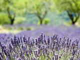 Fototapety Provence, typical lavender landscape
