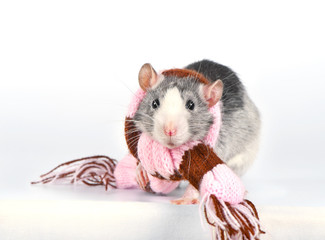 Cute decorative rat with woolen striped scarf close-up