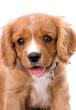King Charles Cavalier 6 Week Old Puppy