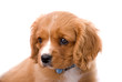 King Charles Cavalier Spaniel Puppy on White Background