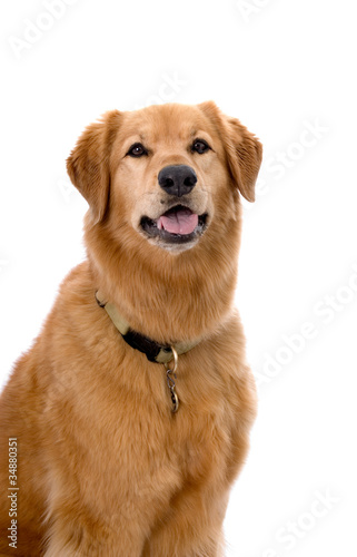 Golden Retriever Mix on White Background