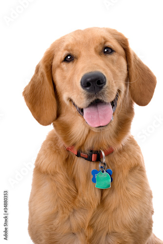 Six Month Old Golden Retriever on White Background
