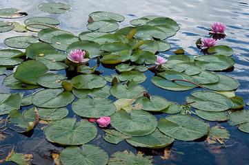 wodne kwiaty