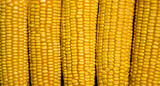 Natural corn without chemical additives and genetically modified