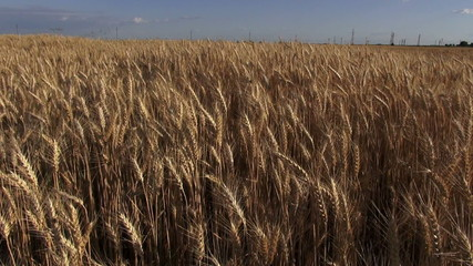 wheat culture field