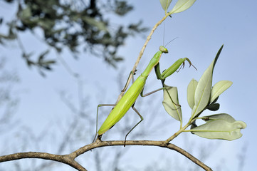 Gottesanbeterin Olivenbaum