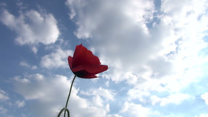 red poppies on the sky