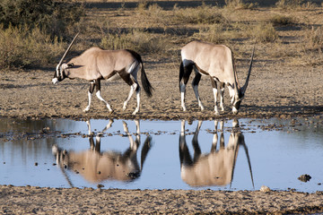 Oryx in Kgalagadi Transfrontier National Park