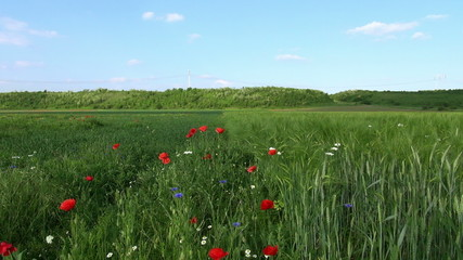 red poppies and wheat on the field