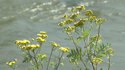 Yellow flower by the river